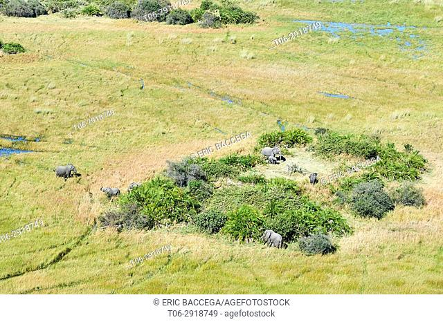 Aerial view of African elephants (Loxodonta africana) staying on an island, one of them is wading through the swamp, another is greeting, Okavango delta