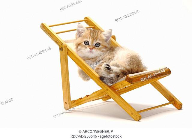 British Shorthair Cat kitten 8 weeks deckchair
