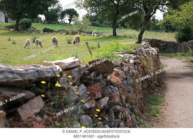 Sheep on fields, Ventas de Naron, Camino de Santiago, Santiago way, Galicia