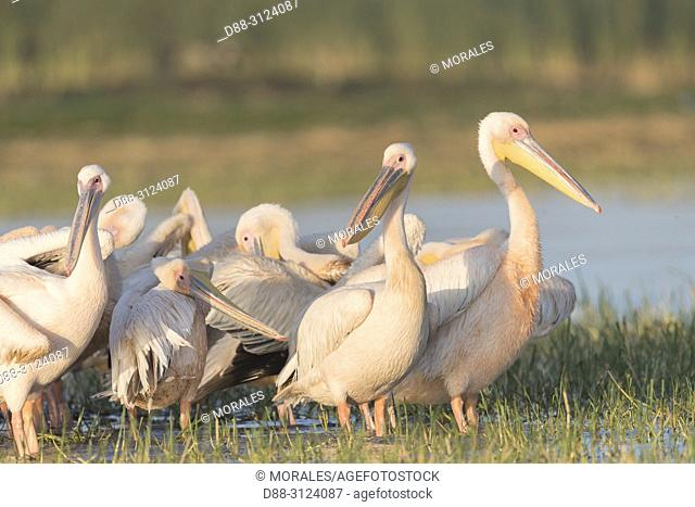 Africa, Ethiopia, Rift Valley, Ziway lake, Great White pelican (Pelecanus onocrotalus), on the water