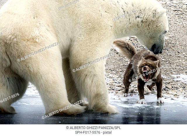Polar bear and aggressive eskimo dog. Churchill, Canada