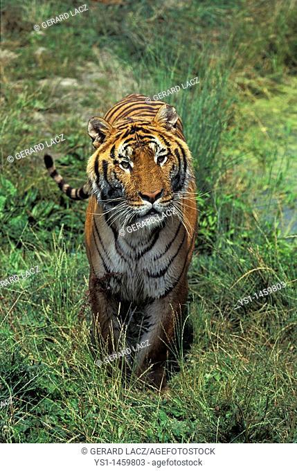 BENGAL TIGER panthera tigris tigris, ADULT STANDING ON GRASS