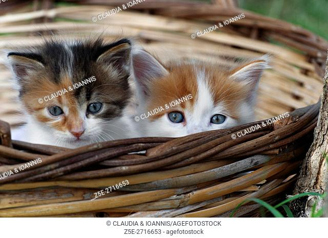 Two kittens sitting in a basket outdoors and looking at camera