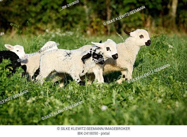 Lambs run with a sheep, Stock Photo, Picture And Royalty