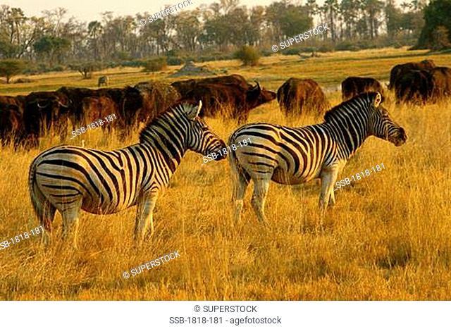 Zebras and buffalos grazing in a field, Okavango Delta, Botswana