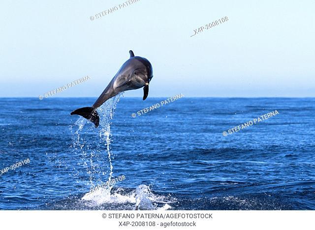 Bottle Nosed Dolphin, Tursiops truncatus, Near Floreana Island, Galapagos Islands, Ecuador