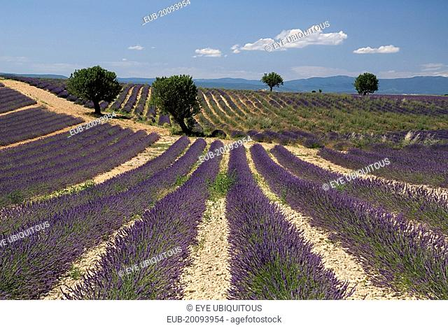 Sweeping vista of rows of lavender in field dotted with trees in major growing area near town of Valensole beneath blue sky and drifting white cloud