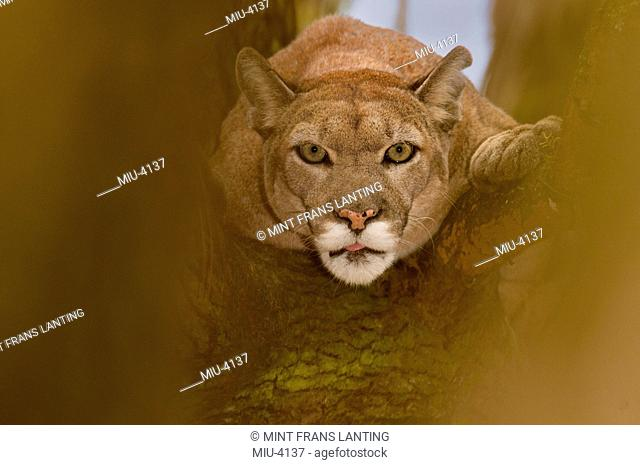 Florida panther, Puma concolor coryi, White Oak Conservation Center, Florida