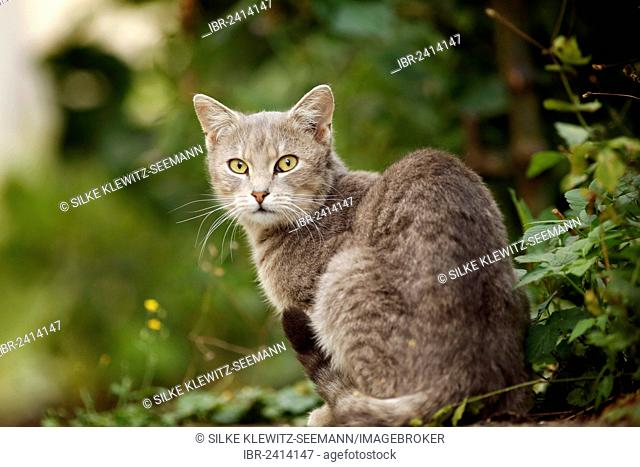 Silver gray tabby cat sitting in the bushes