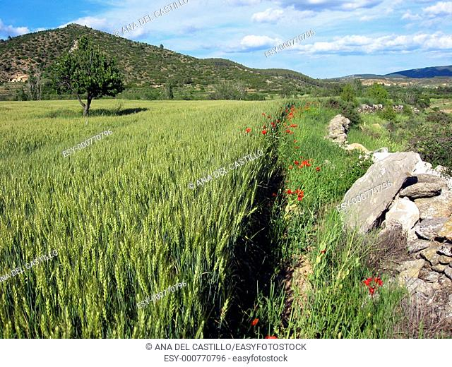 Cereal fields Rubielos de Mora country Gudar mountains Teruel province Aragon
