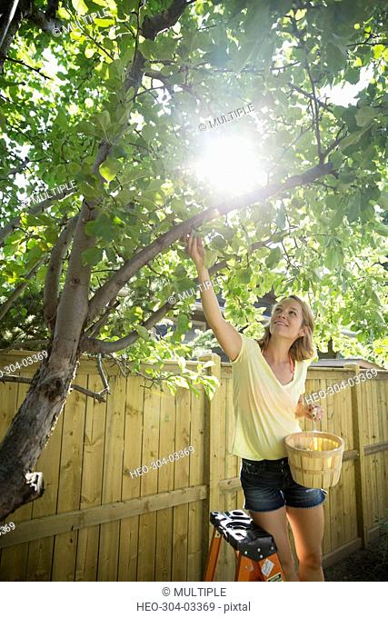 Woman harvesting apples from tree in sunny backyard