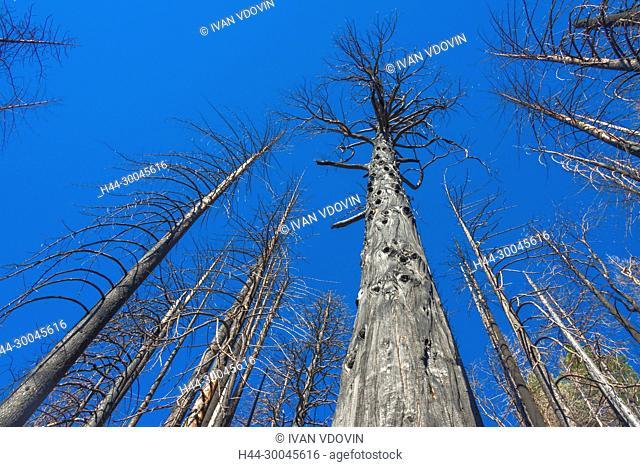 Dry trees, Yosemite National Park, California, USA