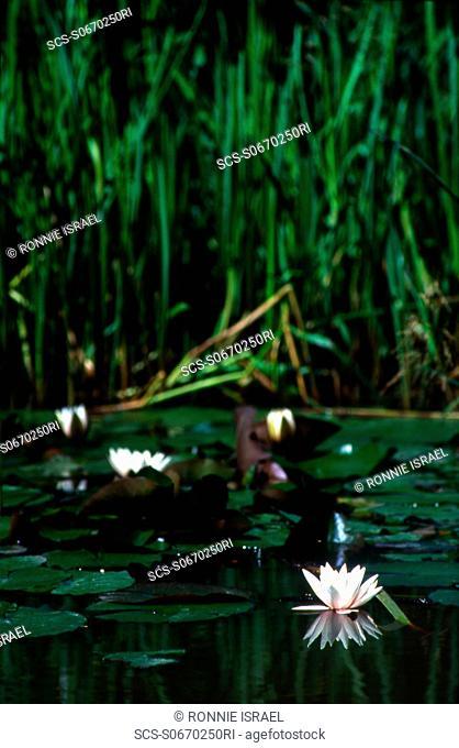 Heath extension ponds White water lilly Hampstead Heath, London, UK