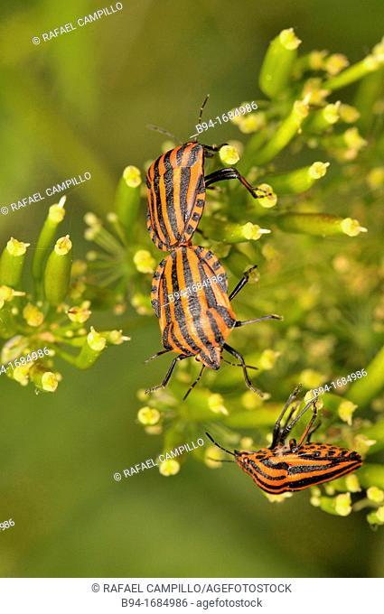 Striped shield bug (Graphosoma lineatum, fam. Pentatomidae), Osseja, Languedoc-Roussillon, Pyrenees Orientales, France