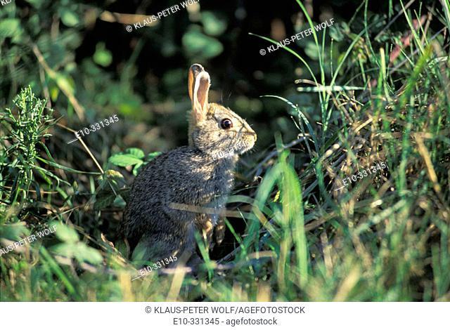 European rabbit (Oryctolagus cuniculus)