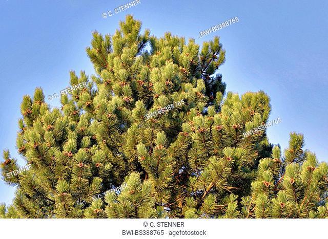 European black pine, Austrian pine, Black Pine, Corsican Pine (Pinus nigra), tree top with cones, Germany