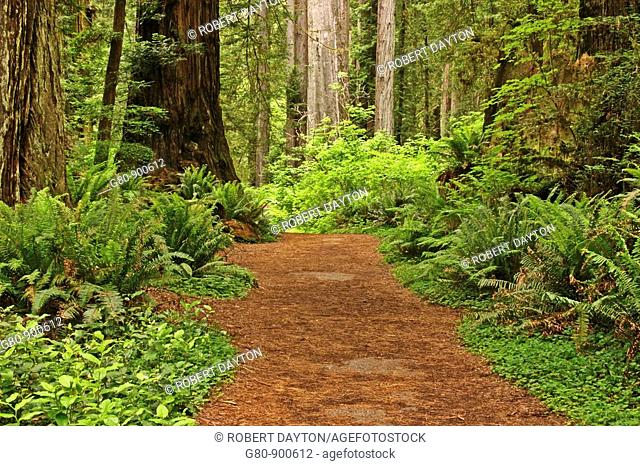 A path in the understory of Redwoods in Redwoods National Park