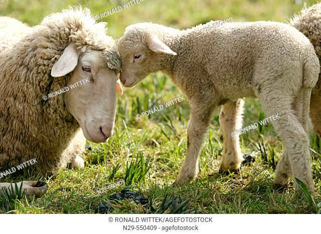 Merino Sheep, lamb