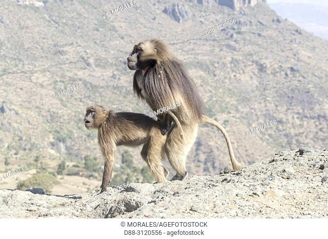 Africa, Ethiopia, Rift Valley, Debre Libanos, Gelada or Gelada baboon (Theropithecus gelada), dominant male coupling with a female