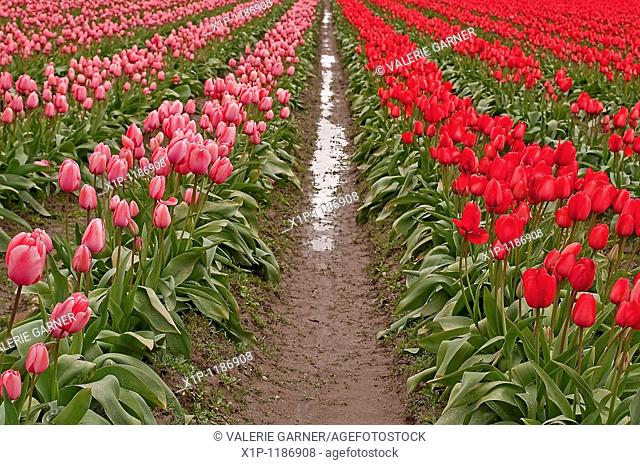 his image shows an infinity of rows of bright pink and red tulips after a spring rain, complete with raindrops on petals and mudpuddles in the rows Stunning...