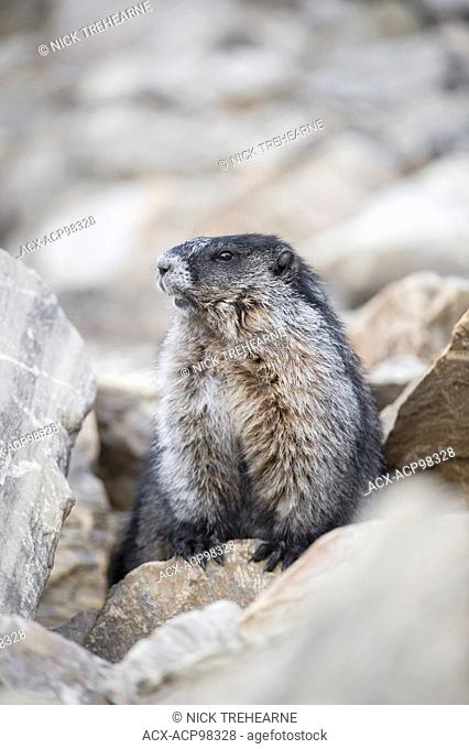 Marmota caligata, hoary marmot, Rocky Mountains, British Columbia, Canada