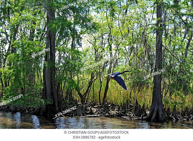 little blue heron flying over cypress-lined backwater channel of Neches River, Beaumont, Texas, United States of America, North America