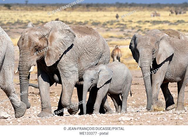 Young African elephants (Loxodonta africana), walking, Etosha National Park, Namibia, Africa