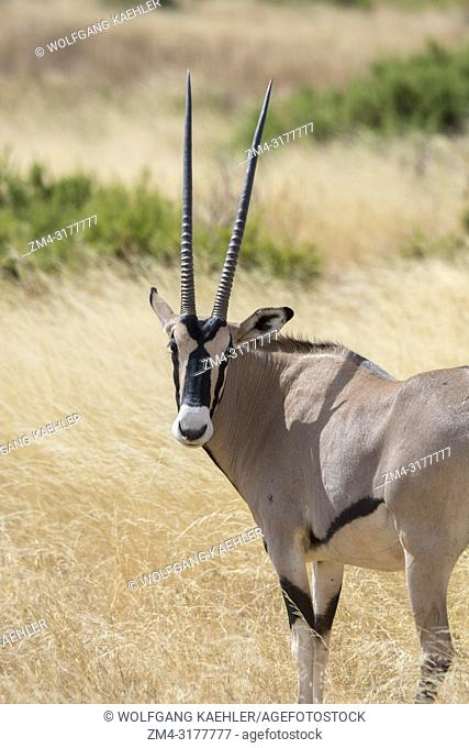 East African Oryx (Oryx beisa) in Samburu National Reserve in Kenya