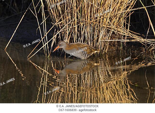 Water Rail Rallus aquaticus feeding in reed bed Norfolk Winter