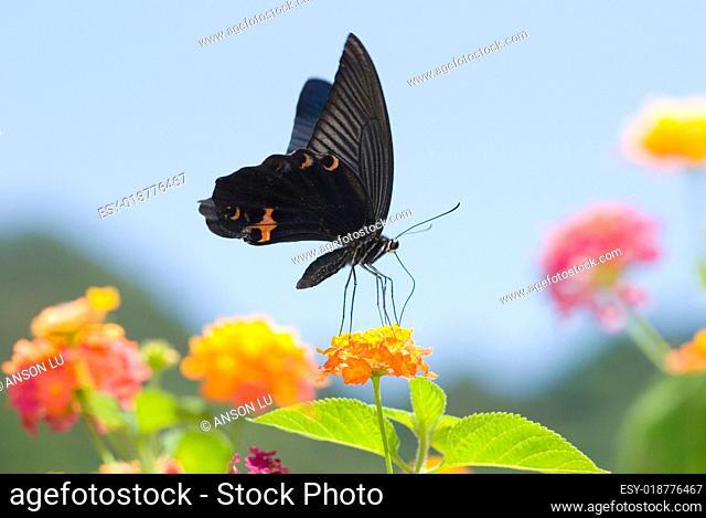 Big black swallowtail butterfly flying under blue sky