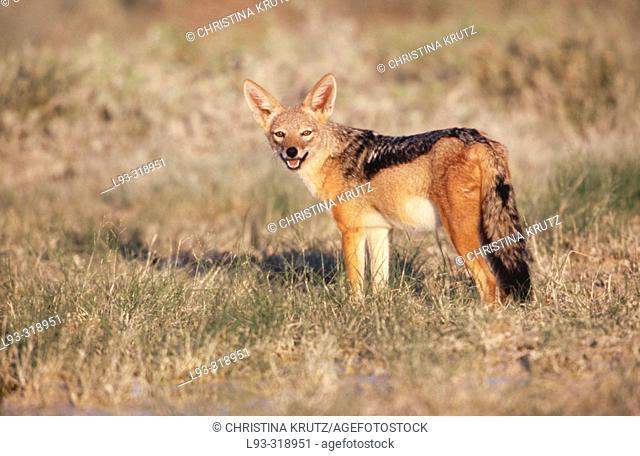 Black-backed Jackal (Canis mesomelas). Etosha National Park. Namibia