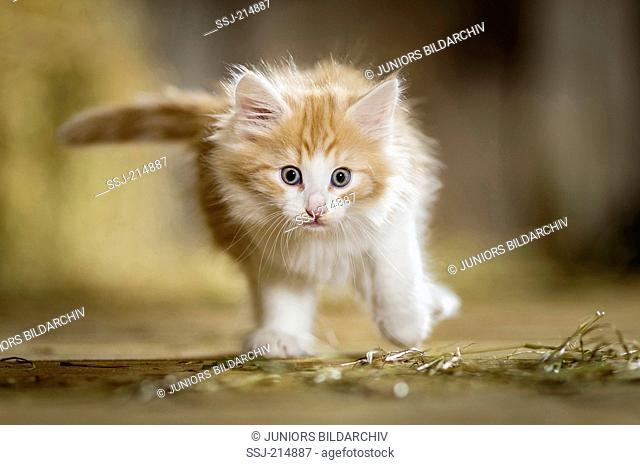 Norwegian Forest Cat. Kitten walking in a barn. Germany