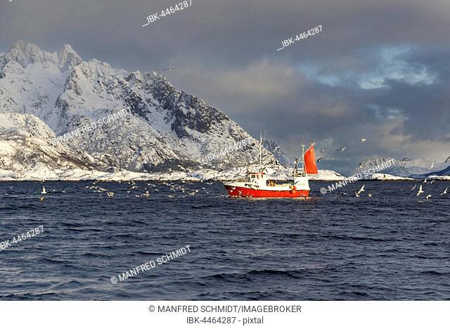 Fishing boat in front of snow-covered mountains, flock of seagulls, Svolvaer, Vestfjord, Lofoten, Nordland, Norway