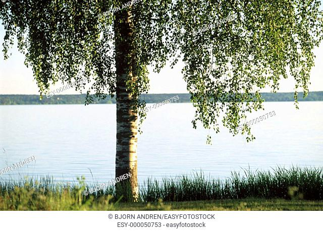 Birch tree and lake