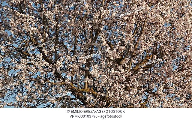 Almond tree flowering. Near La Floresta, Lleida, Catalonia, Spain