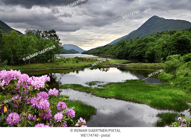 Rhododendron flowers at the River Leven at the Head of Loch Leven in Kinlochleven with Mam na Gualainn ridge Scottish Highlands Scotland UK