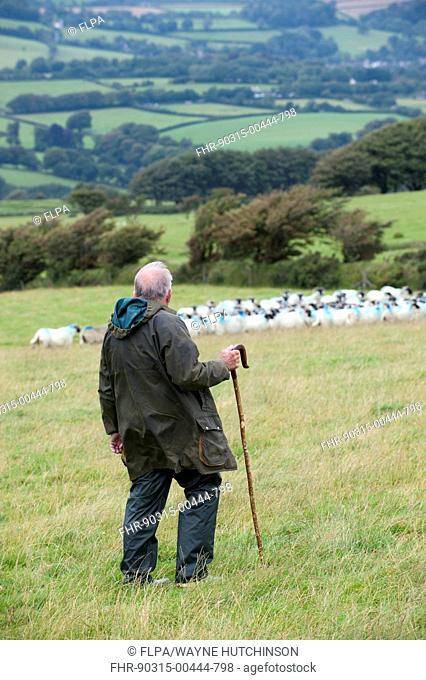Sheep farming, shepherd with crook working sheepdog on flock of sheep in pasture, Devon, England, August