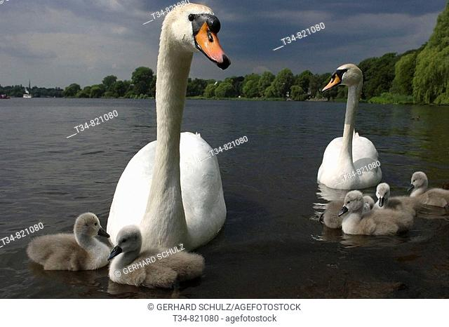Mute Swan with cygnets, Cygnus olor, Hamburg at River Alster, Germany