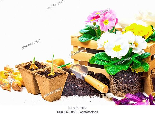 Primroses, gardening, spring flowers