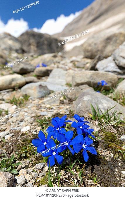 Bavarian gentian (Gentiana bavarica) in flower on mountain slope, Hohe Tauern National Park, Austrian Alps, Carinthia, Austria