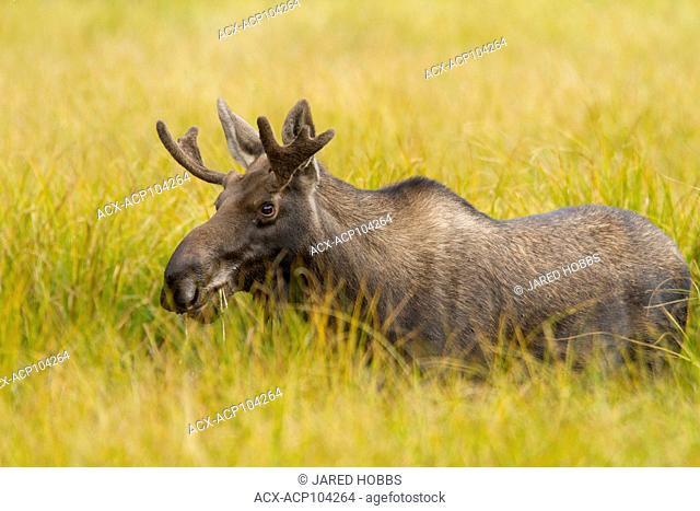 Moose, Alces alces, Jasper National Park, Alberta, Canada