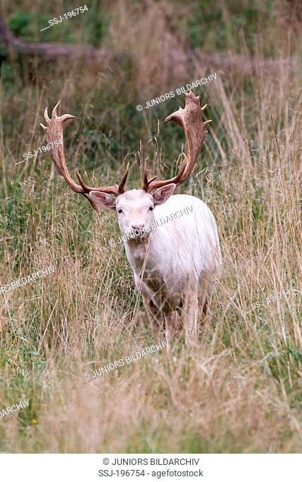 white Fallow Deer (Dama dama). Albino stag standing in tall grass. Denmark