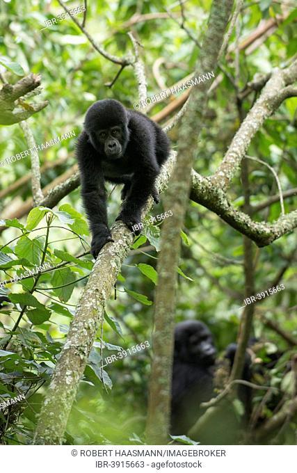 Mountain gorillas (Gorilla beringei beringei), young animals, Bwindi Impenetrable National Park, Uganda