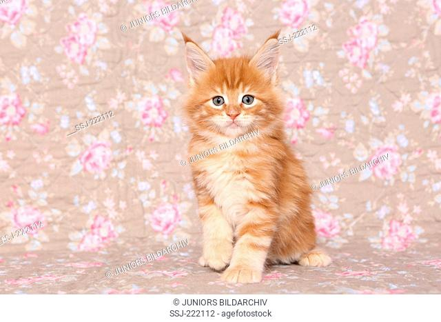 American Longhair, Maine Coon. Kitten (6 weeks old) sitting, seen against a floral design wallpaper