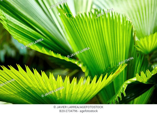 Palm leaf, Pereira, Risaralda, Colombia, South America