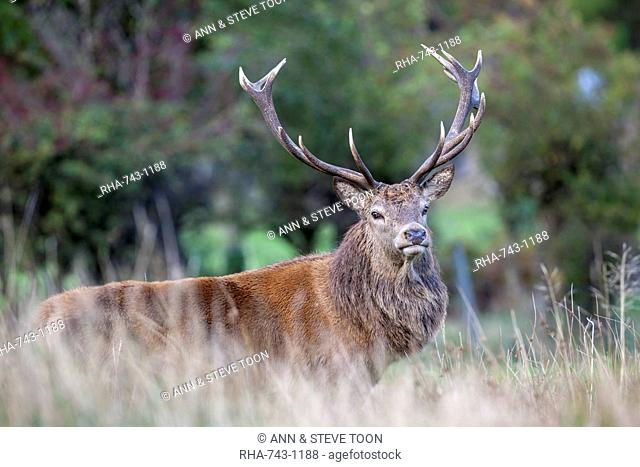 Red deer stag (Cervus elaphus), Arran, Scotland, United Kingdom, Europe