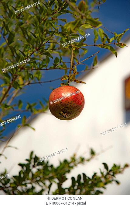 Pomegranate hanging from tree