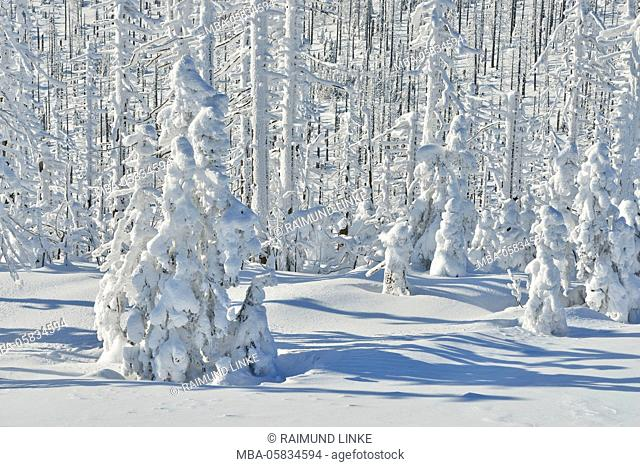 Snow Covered Conifer Forest in the Winter, Grafenau, Lusen, National Park Bavarian Forest, Bavaria, Germany
