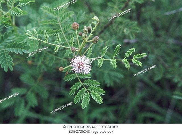 Mimosa sp. Family: Mimosaceae. A large shrub. The branches of this spiny shrub are used for making fences