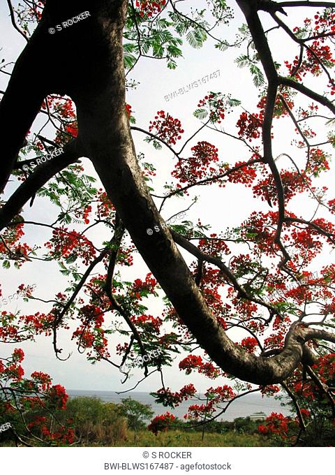 royal poinciana Delonix regia, branch of a single tree with flowers, Saint Kitts and Nevis, St. Kitts